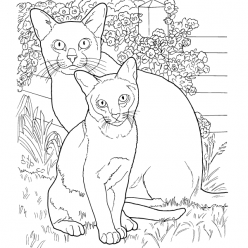 Cats breed Burmese