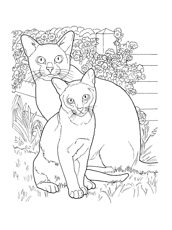 Cats breed Burmese