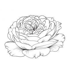 Uncool rosebud